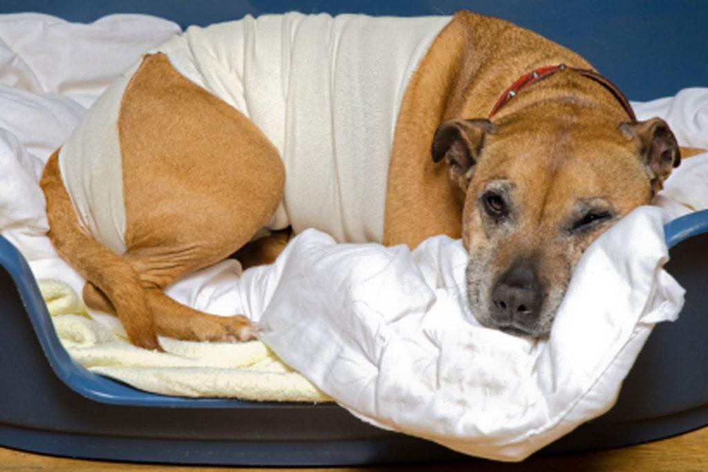 Curas y tratamientos Post-Operatorios - Residencia Canina en Barcelona